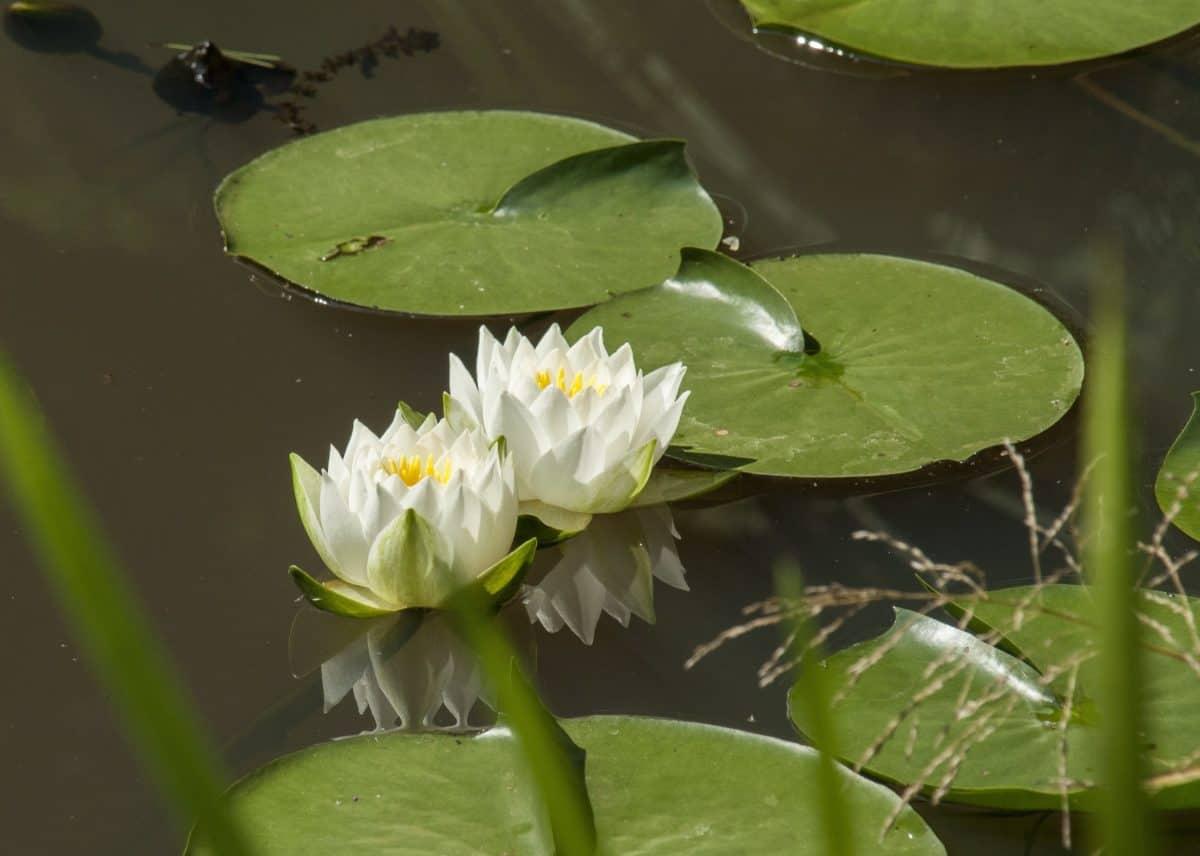 natura, orticoltura, waterlily, fiore, loto, foglia, acquatico, esotico