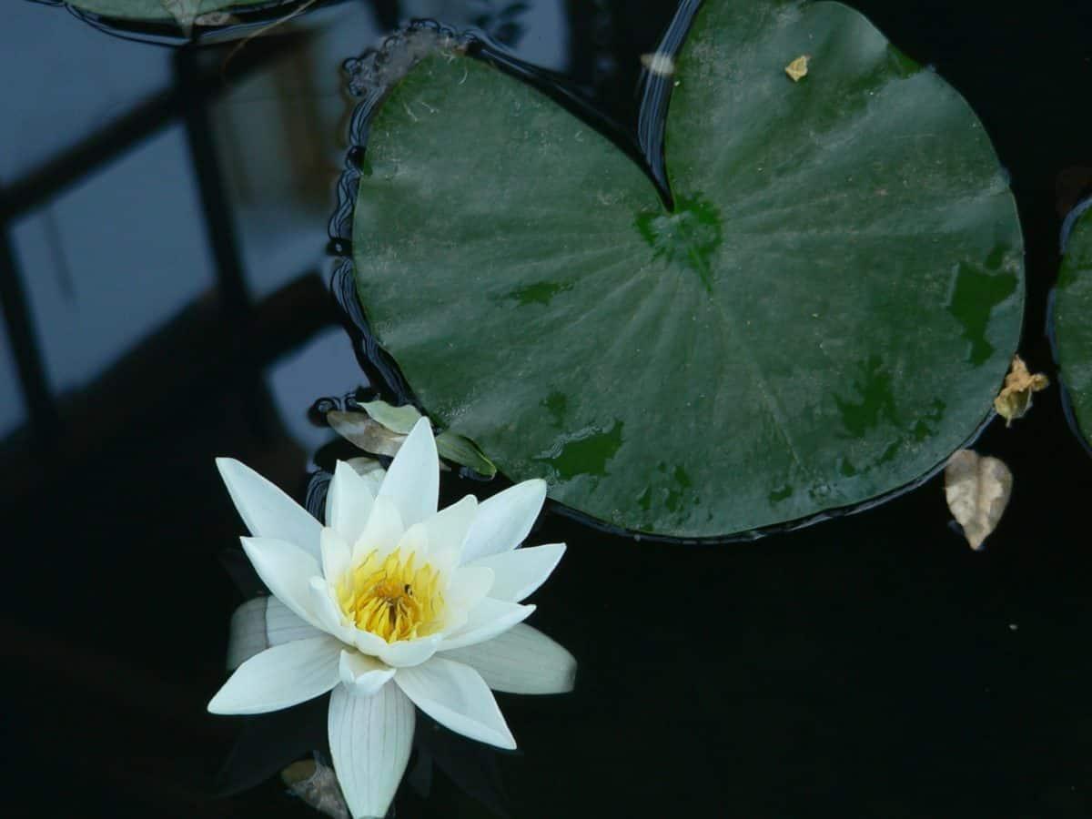 Blume, Lotus, Gartenbau, Blatt, Wasser, Pflanze, Blüte, Blütenblatt