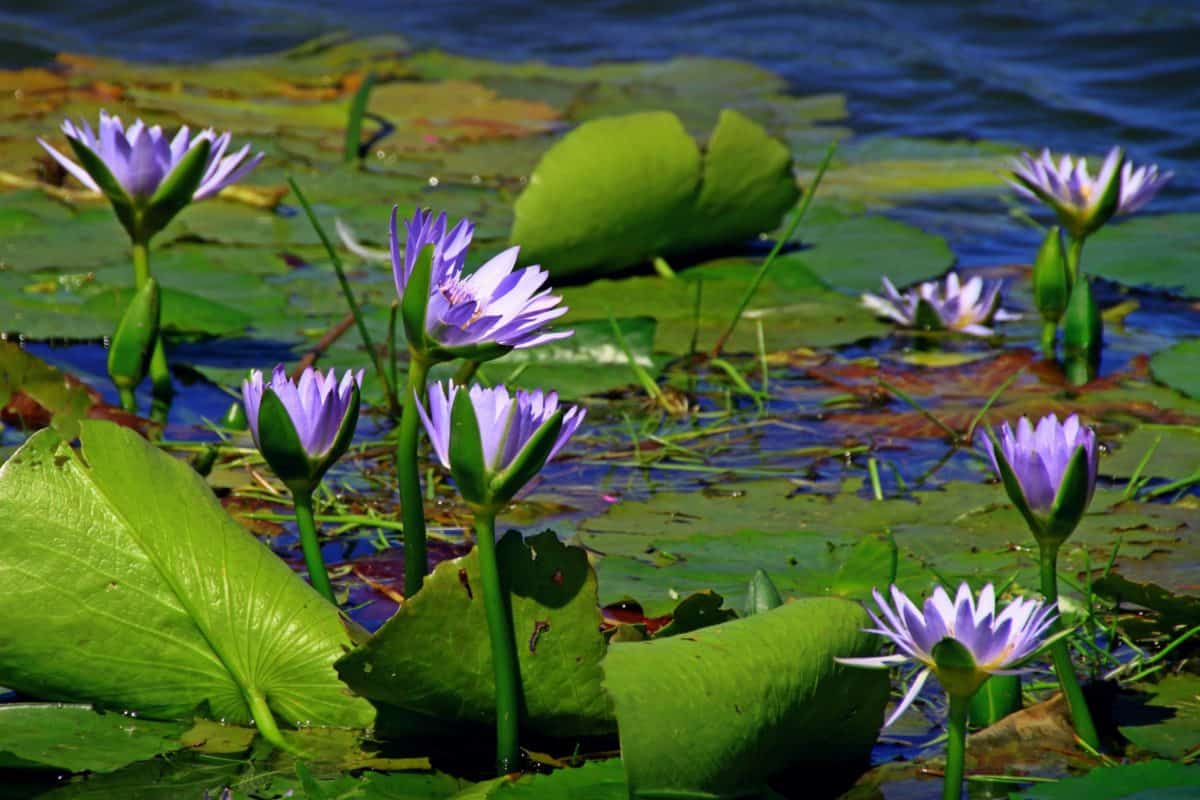 flower, horticulture, lotus, waterlily, nature, garden, leaf, flora