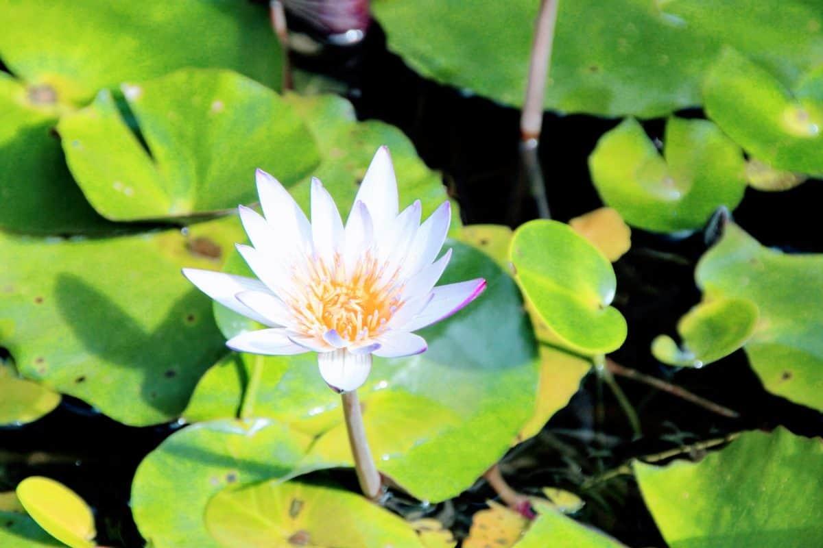 Gartenbau, Flora, Natur, Seerose, grünes Blatt, Blume, Lotus, Wasserpflanzen