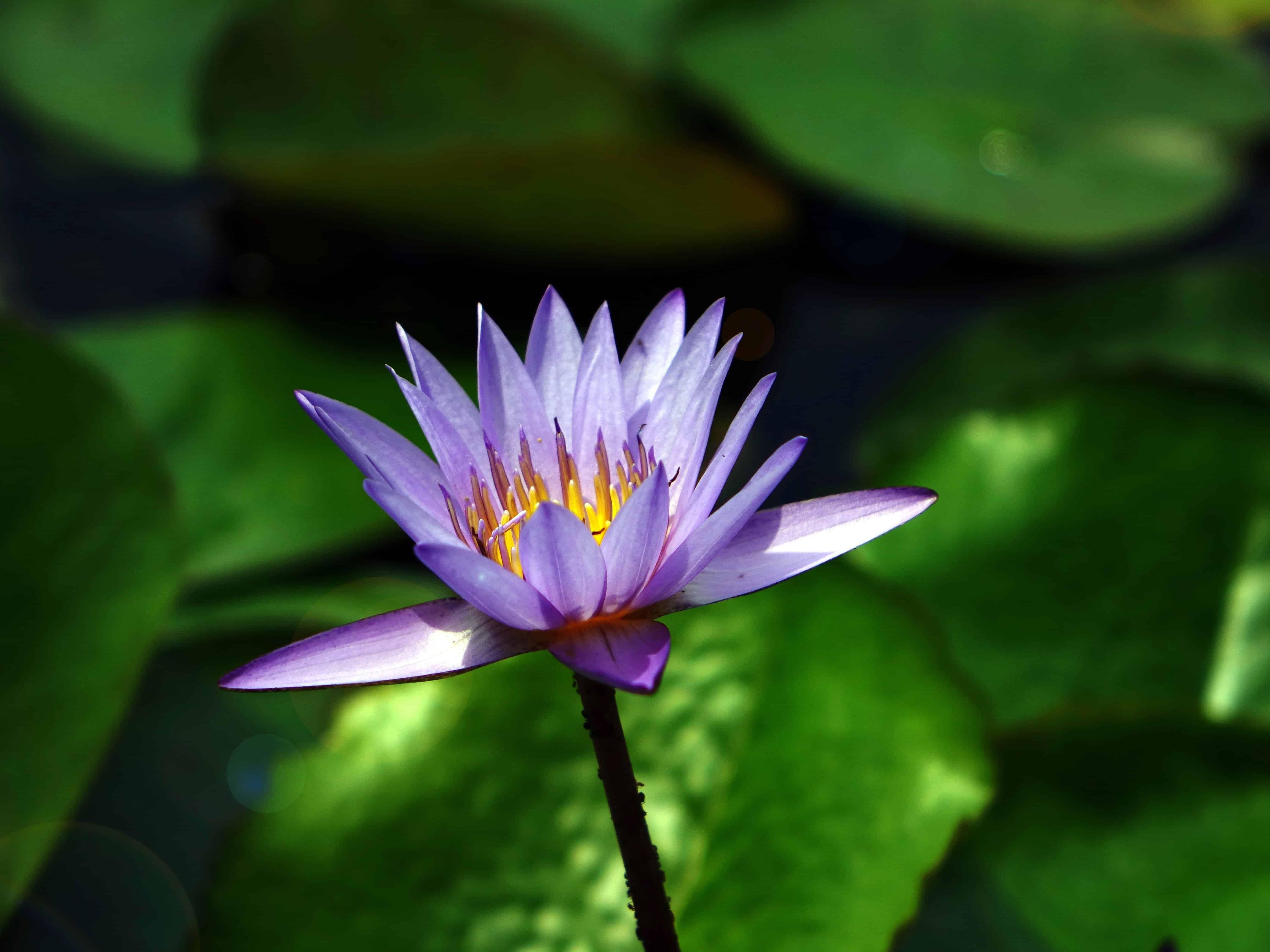Imagen Gratis Lotus Ecolog A Naturaleza Acu Tico Flora Flor  # Muebles Nenufar