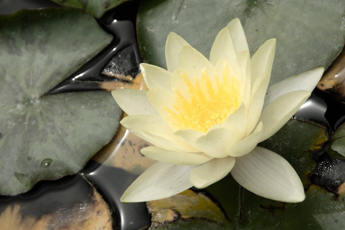 meditación, horticultura, hoja, flor, loto, acuático, planta, flor