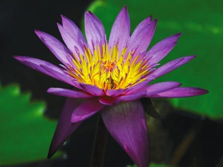 ecology, wild lotus, aquatic, leaf, flora, flower, waterlily, nature