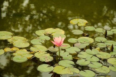 flower, lotus, aquatic, water, nature, lake, green leaf, horticulture, flora