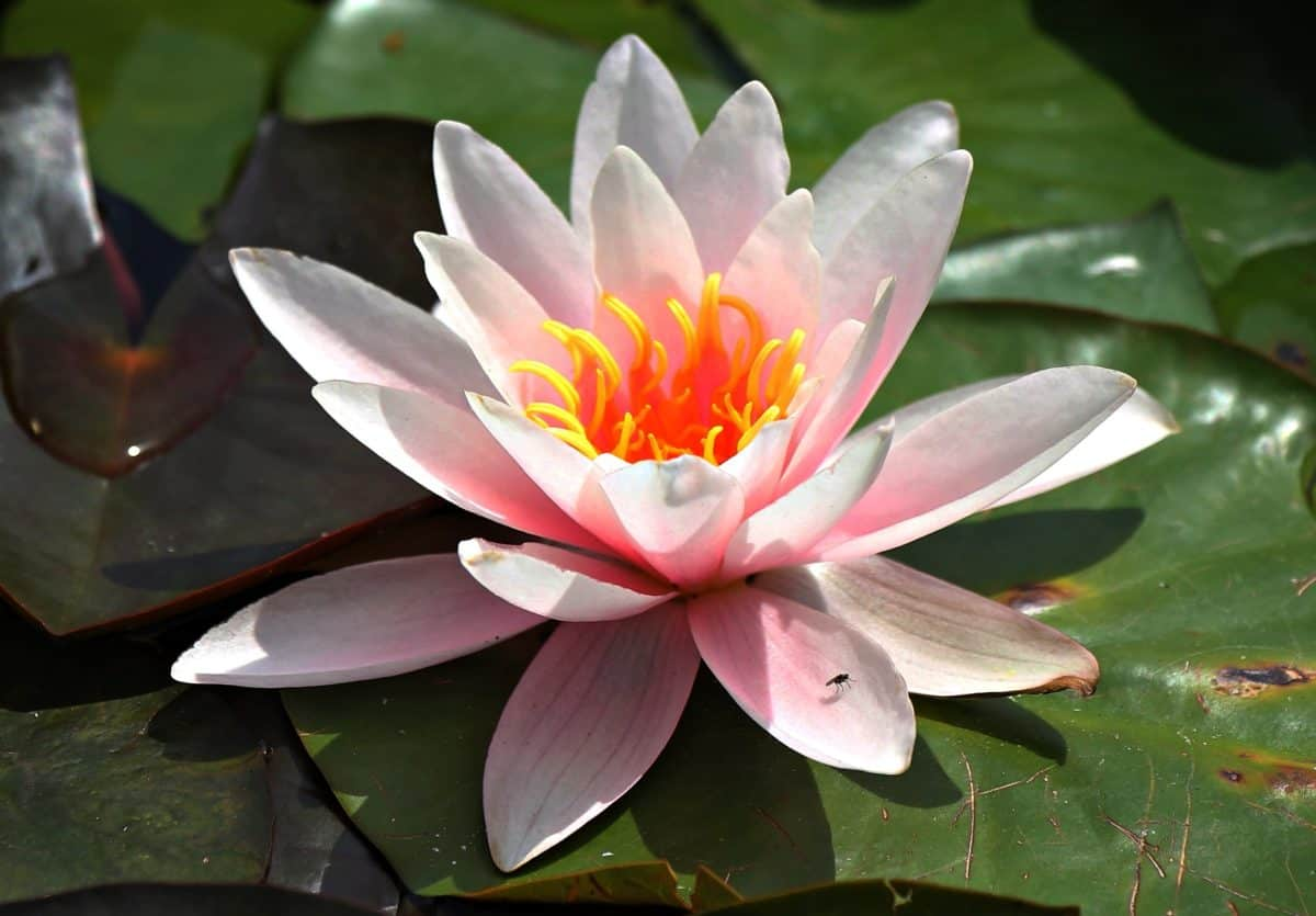 green leaf, lotus, waterlily, aquatic, flower, meditation
