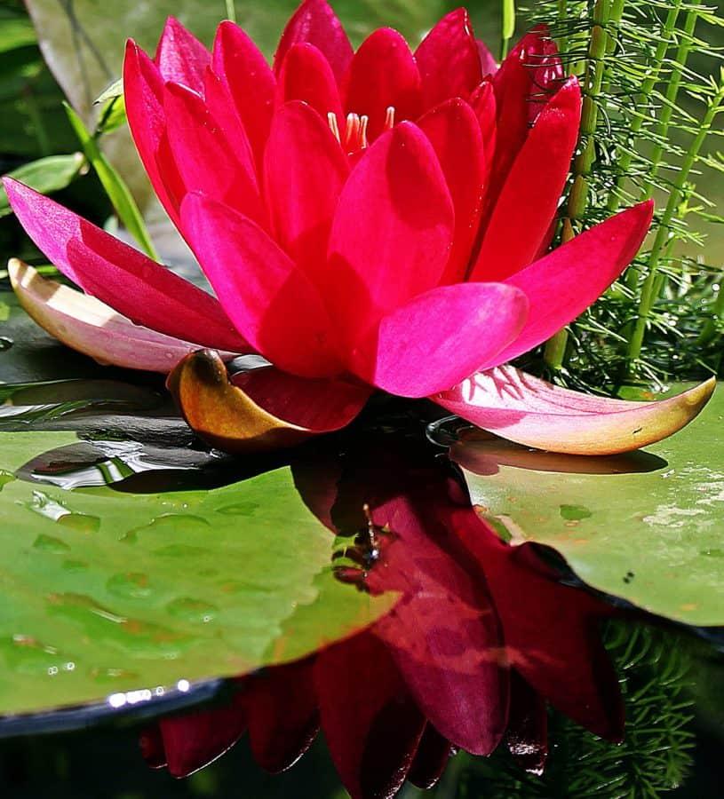 flora, natur, gartneri, grønne blade, sommer, lotus, blomster, haven