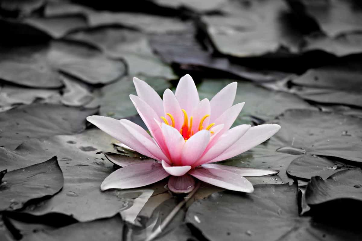 monochrome, nature, leaf, flora, flower, lotus, pink, blossom, plant