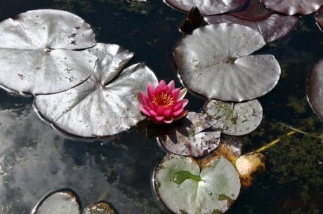 flower, water, nature, leaf, aquatic, plant, horticulture, pond