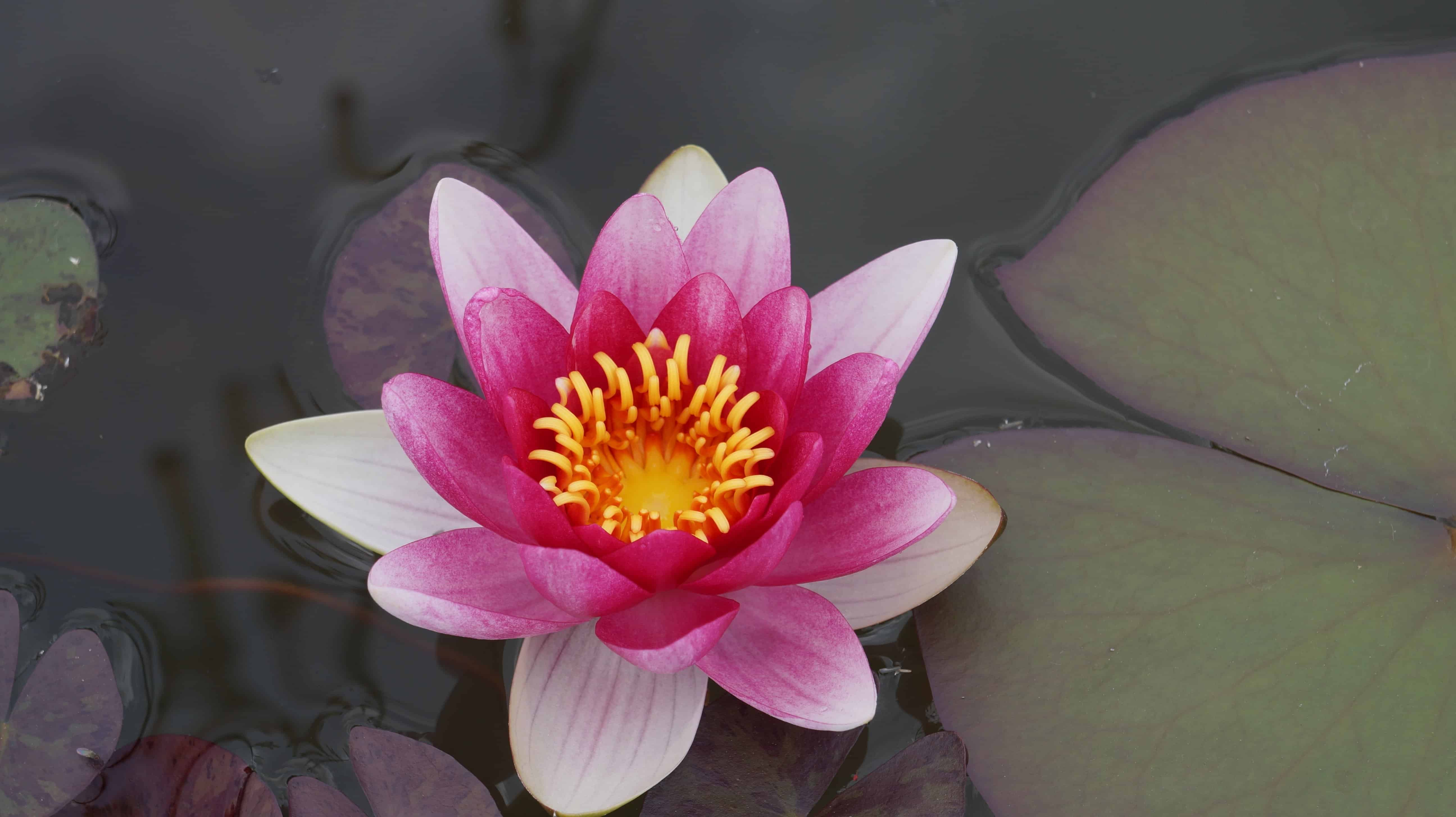 Free picture horticulture flora green leaf lotus flower pink horticulture flora green leaf lotus flower pink petal blossom plant izmirmasajfo