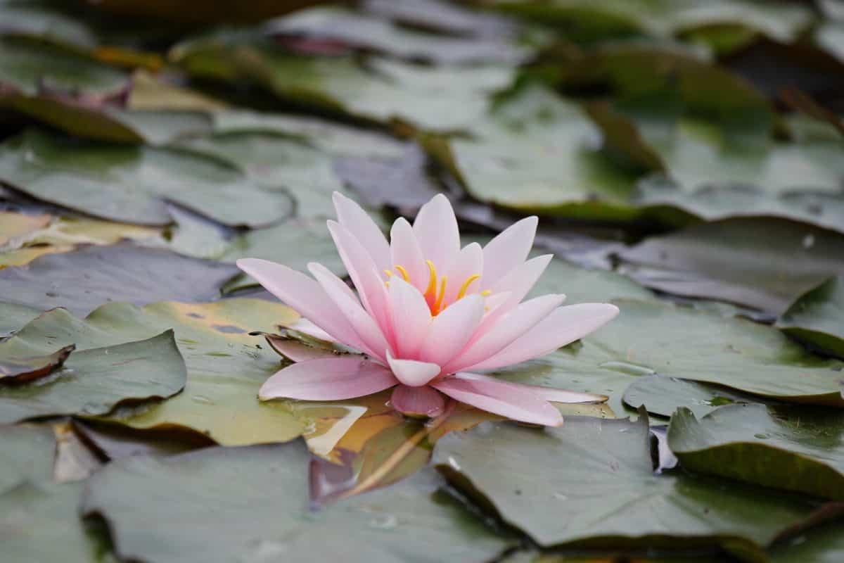 acquatico, flora, foglia, natura, esotico, orticoltura, fiore, loto bianco