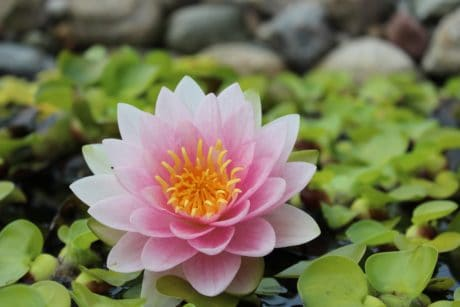 flower, garden, ecology, summer, flora, leaf, pink lotus, nature