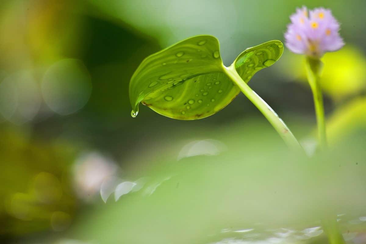natura, fiore, estate, verde foglia, flora, acquatico, orticoltura, erba