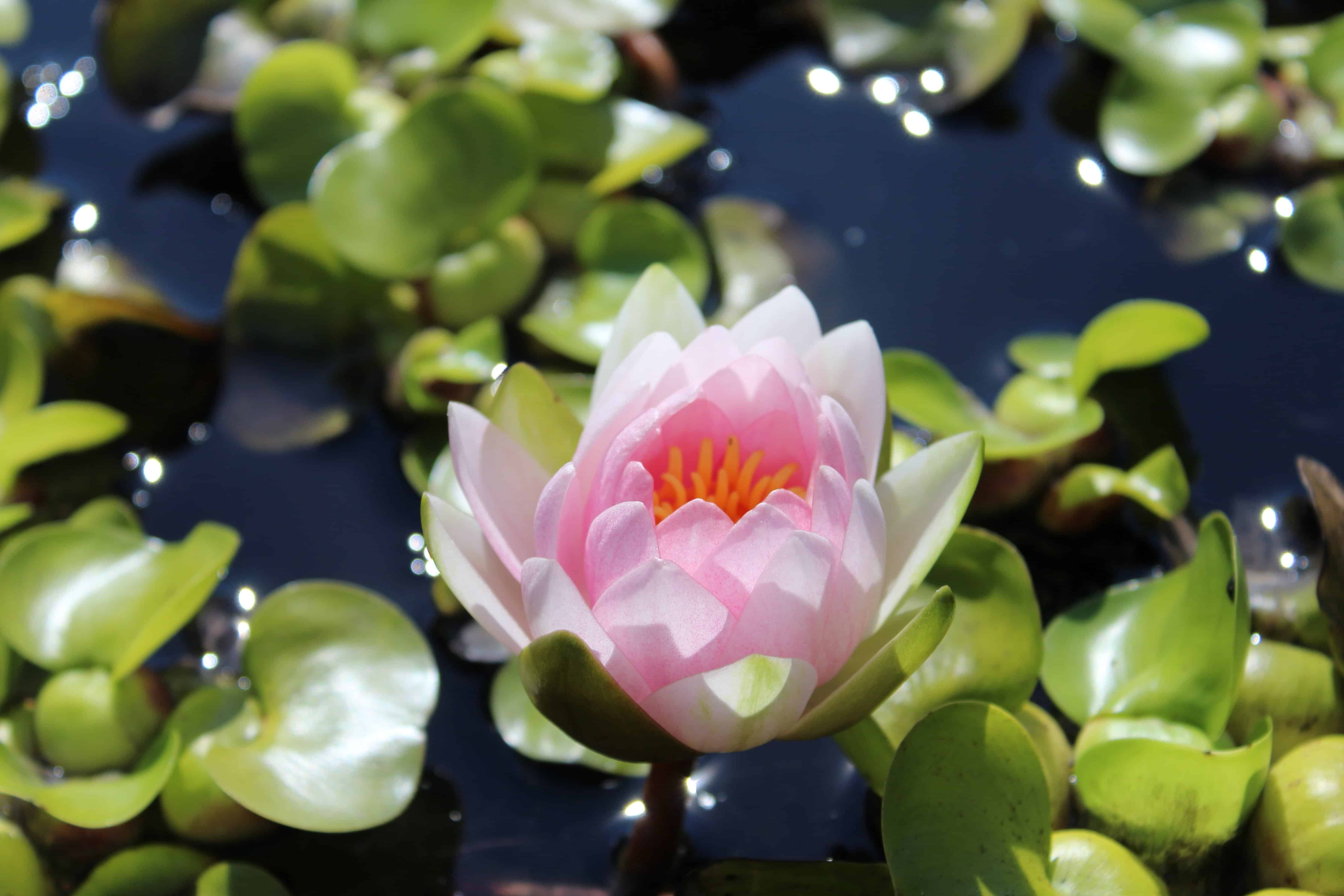 Free Picture Leaf Nature White Lotus Flower Garden