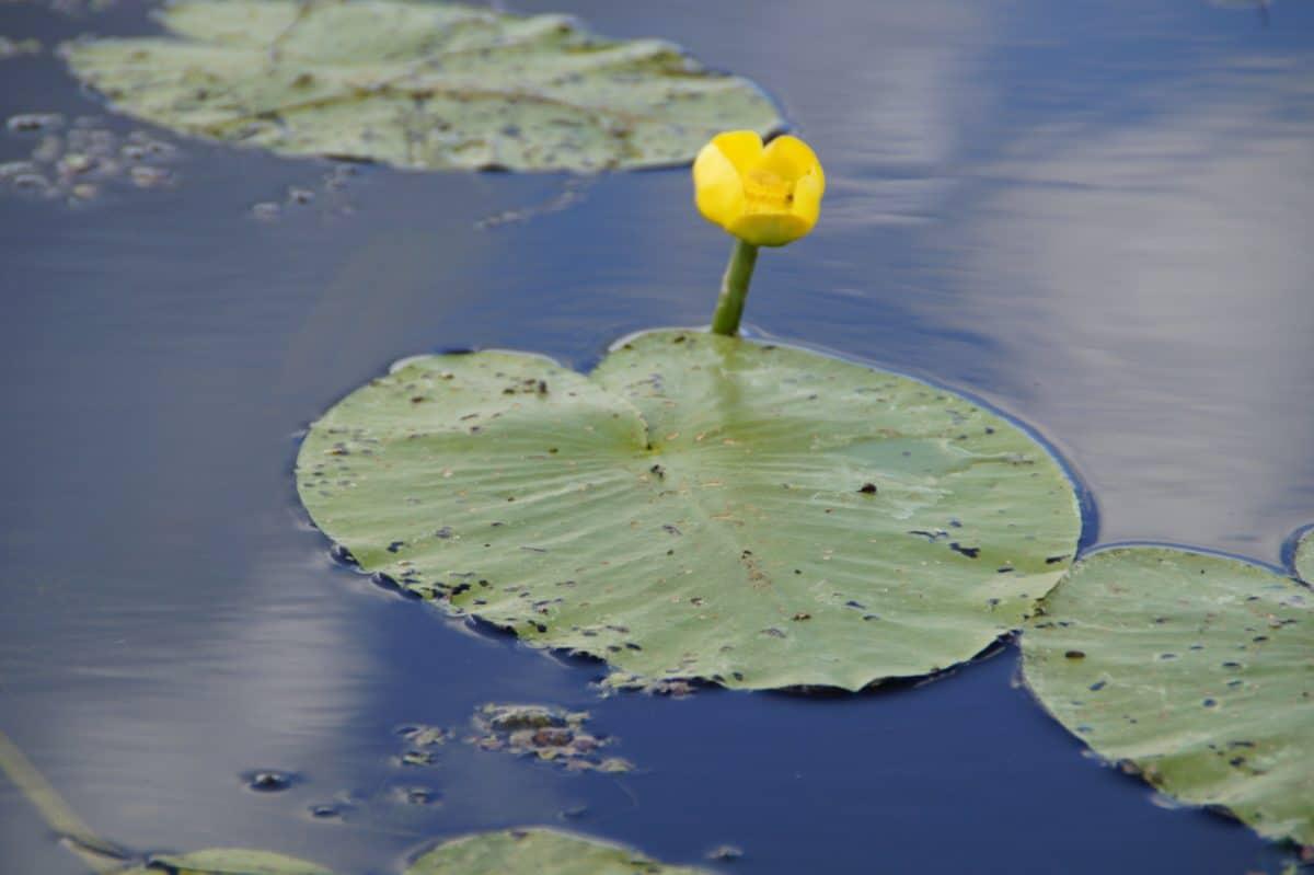 reflexe, vodu, žluté lotus, jezera, příroda, vodní, rybník, zahradnictví