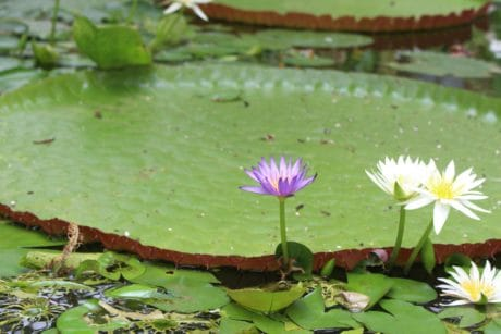green leaf, aquatic, flower, flora, white lotus, waterlily, garden, horticulture