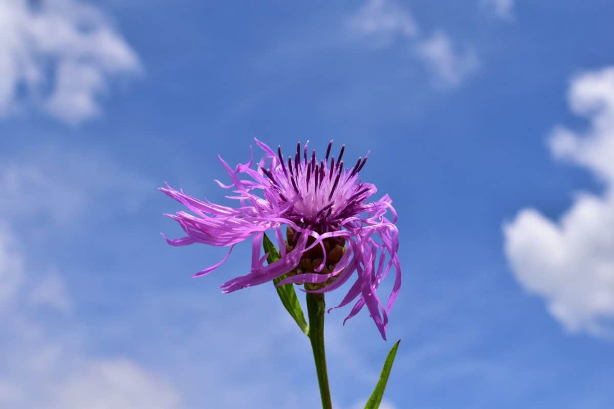 Verão, nuvem, flora, natureza, flores, ervas, planta, céu azul, macro, rosa