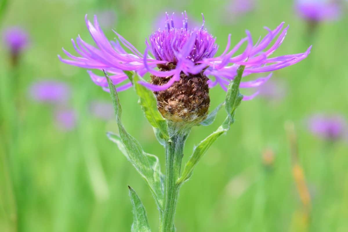 flora, summer, meadow, wild, garden, leaf, field, nature, wildflower