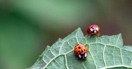 beetle, ladybug, nature, macro, green leaf, summer, insect, arthropod