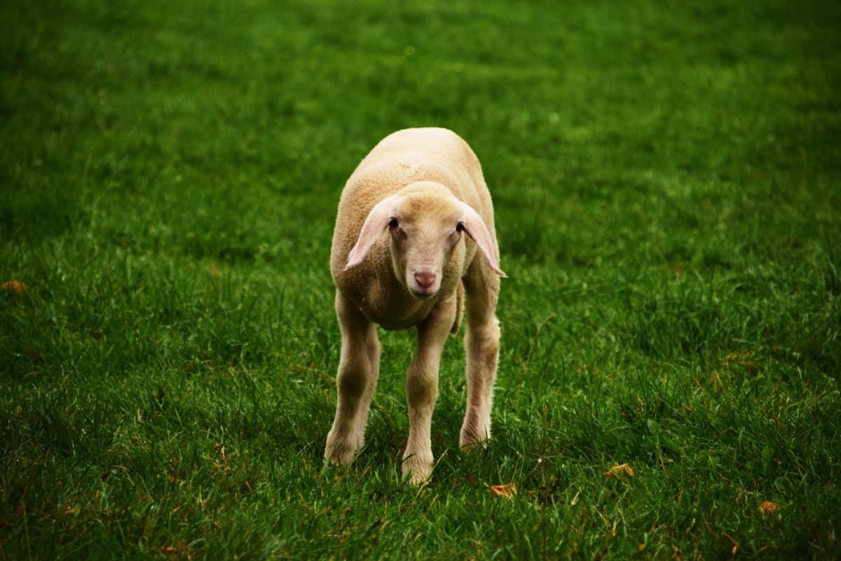sheep, green grass, lamb, cute, animal, outdoor