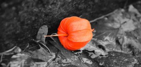 natur, farverige, plante, rød, jorden, efterår, flora