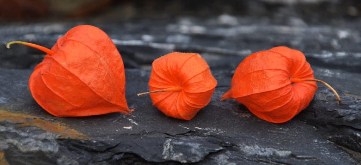 automne coloré, nature, macro flore, rouge, plante