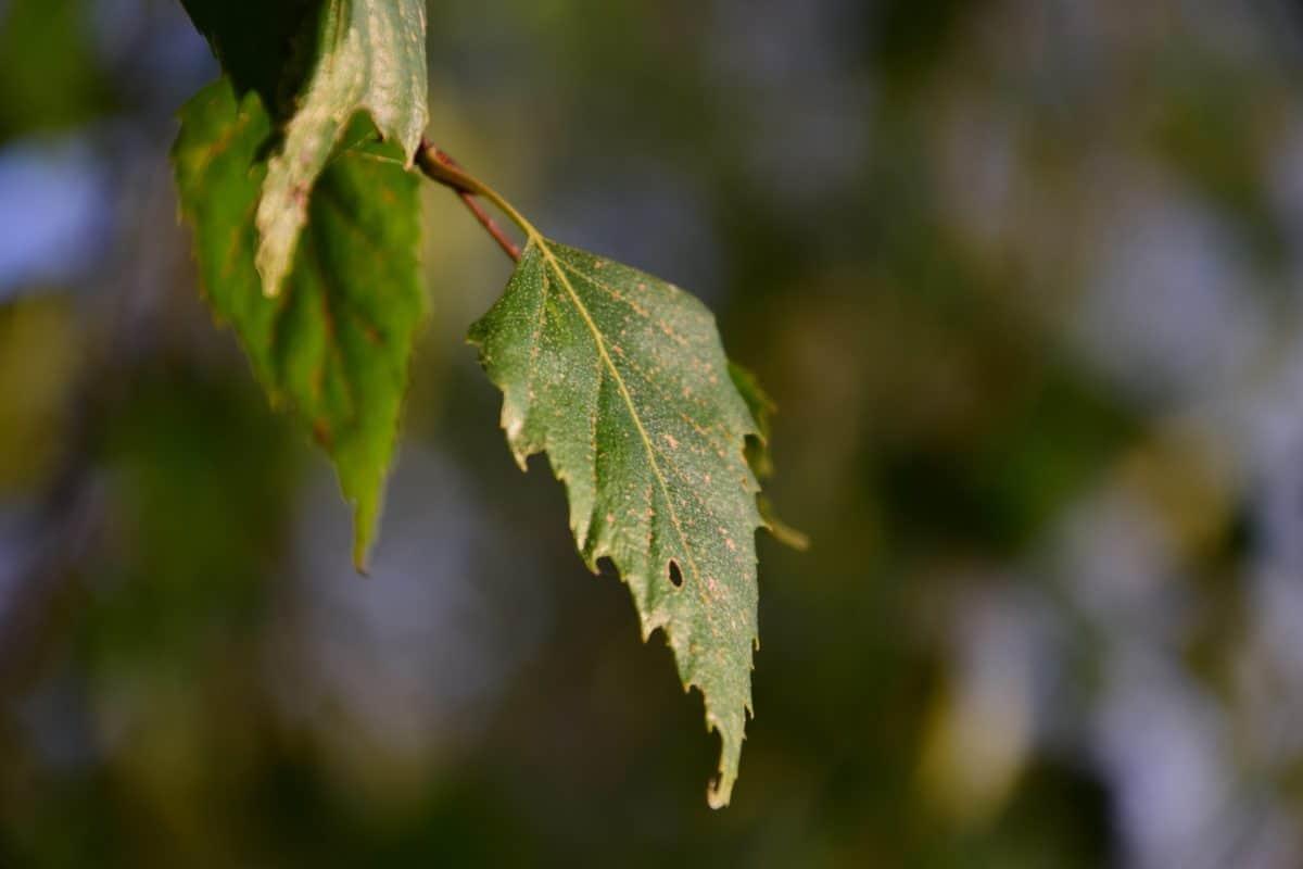nature, leaf, flora, tree, plant