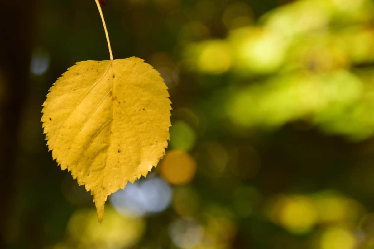 natura, foglia gialla, flora, all'aperto, luce naturale, pianta, autunno
