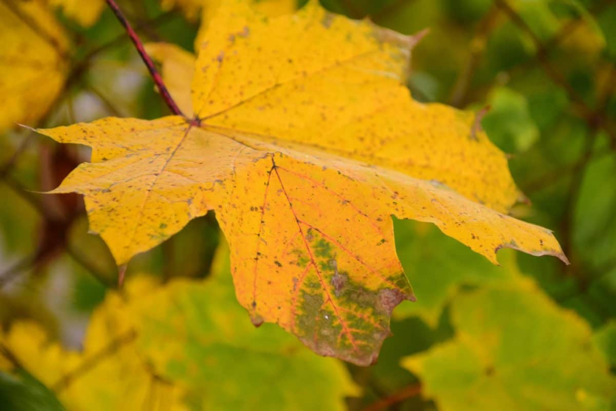 yellow leaf, herb, nature, autumn, colorful, foliage, forest
