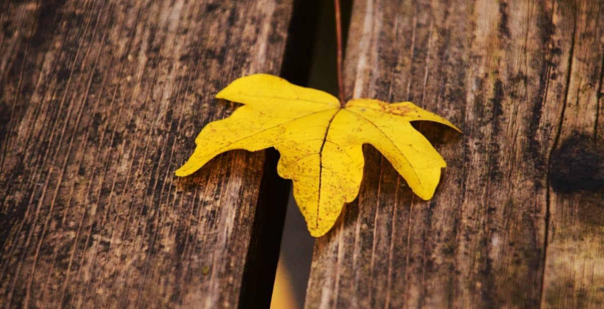 leaf, nature, wood, autumn, tree, plant, foliage