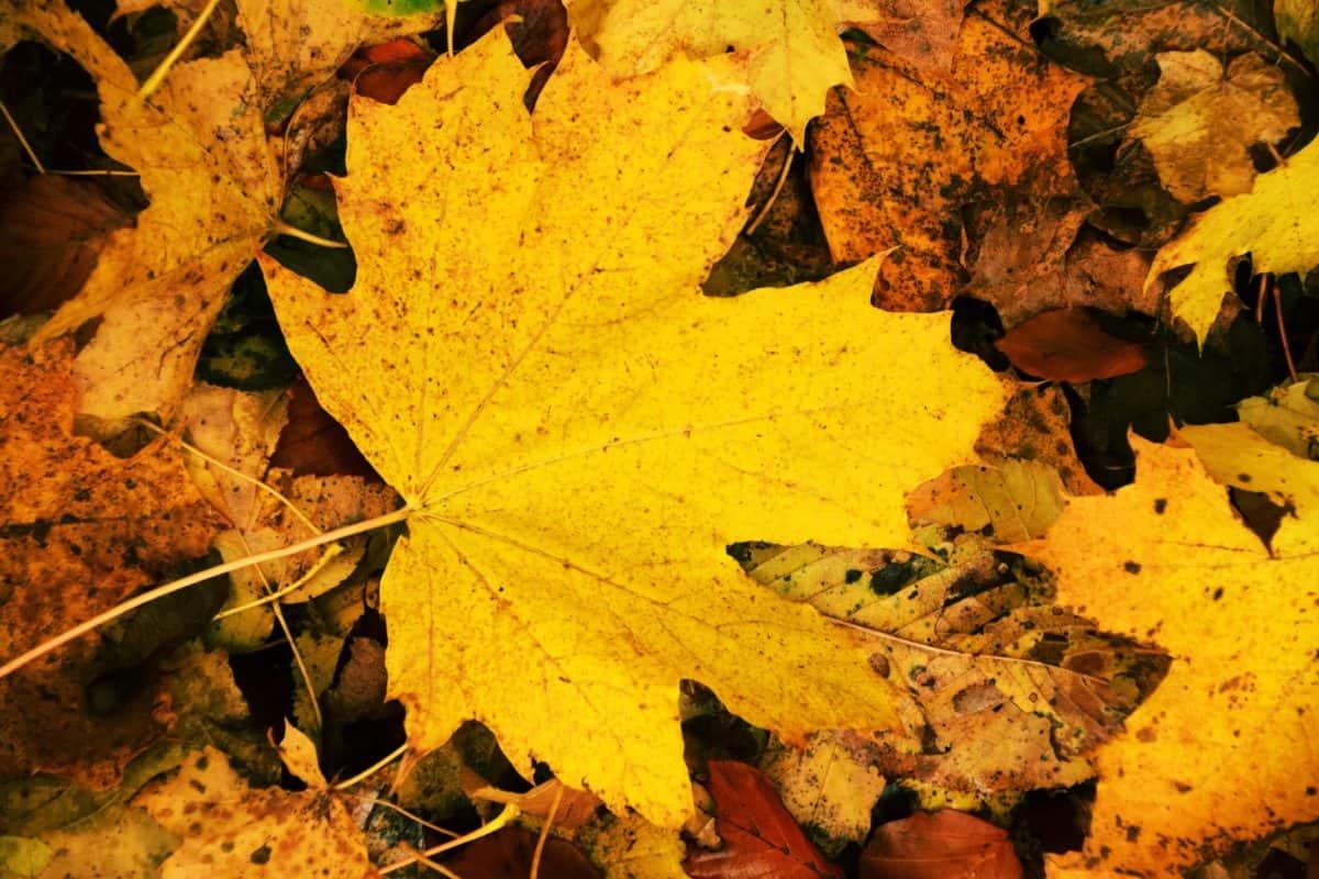 legno, flora, terra, foglia giallo, natura, autunno, fogliame