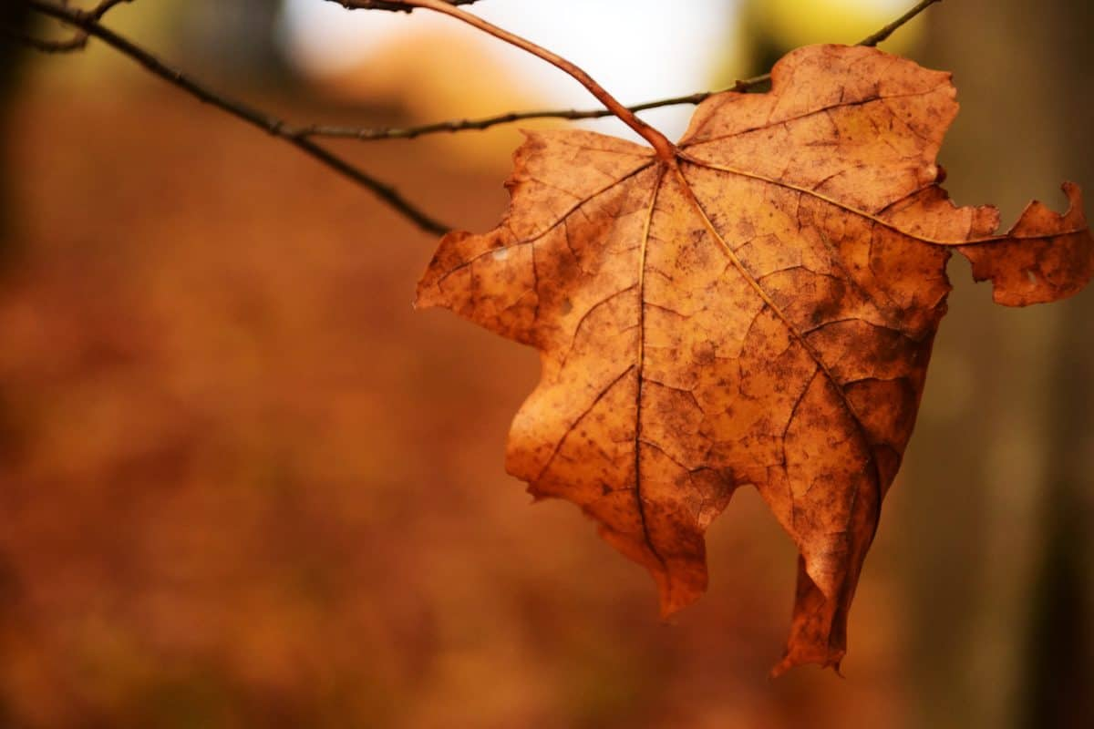 leaf, tree, nature, autumn, plant, foliage