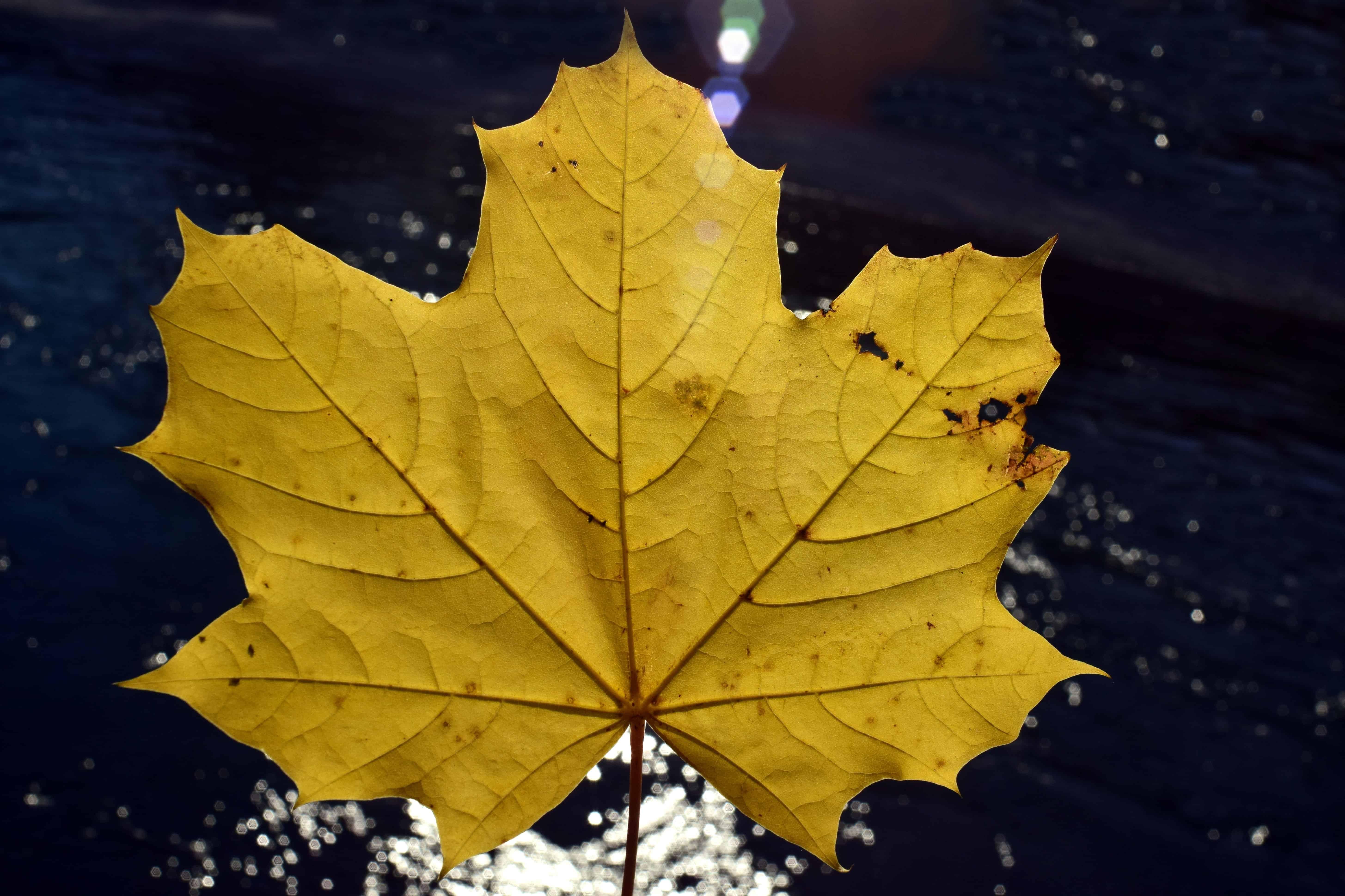 Картинка желтого листика