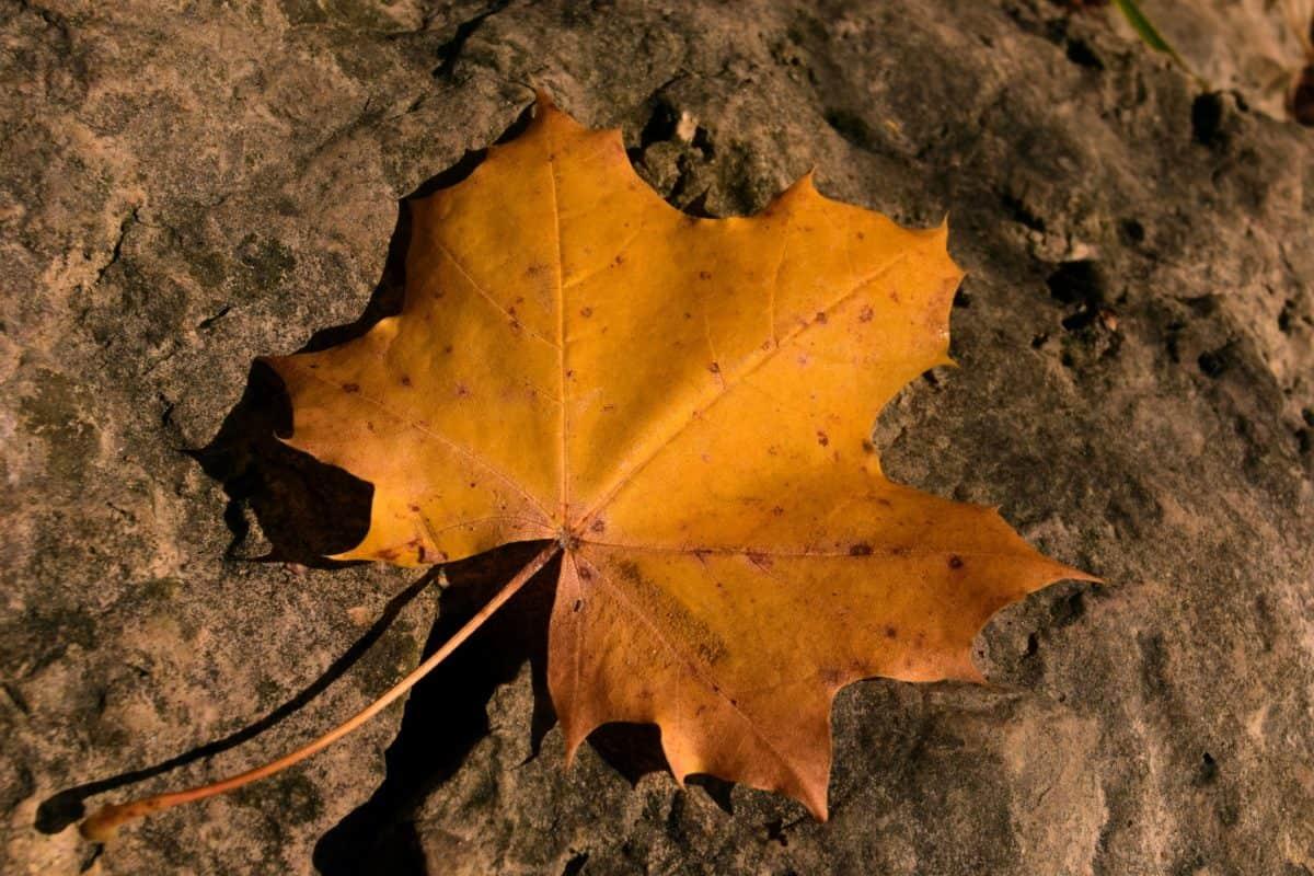 Natur, Herbst, trocken, im Freien, braun, Pflanze, Blatt, Laub