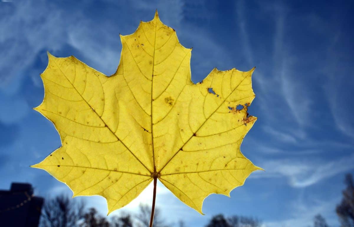 Blatt, Natur, gelbes Blatt, Herbst, Himmel, Laub, Pflanze
