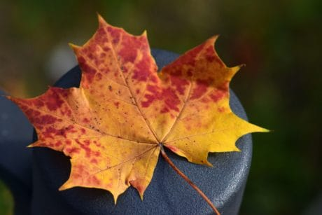 leaf, nature, autumn, foliage, outdoor, plant