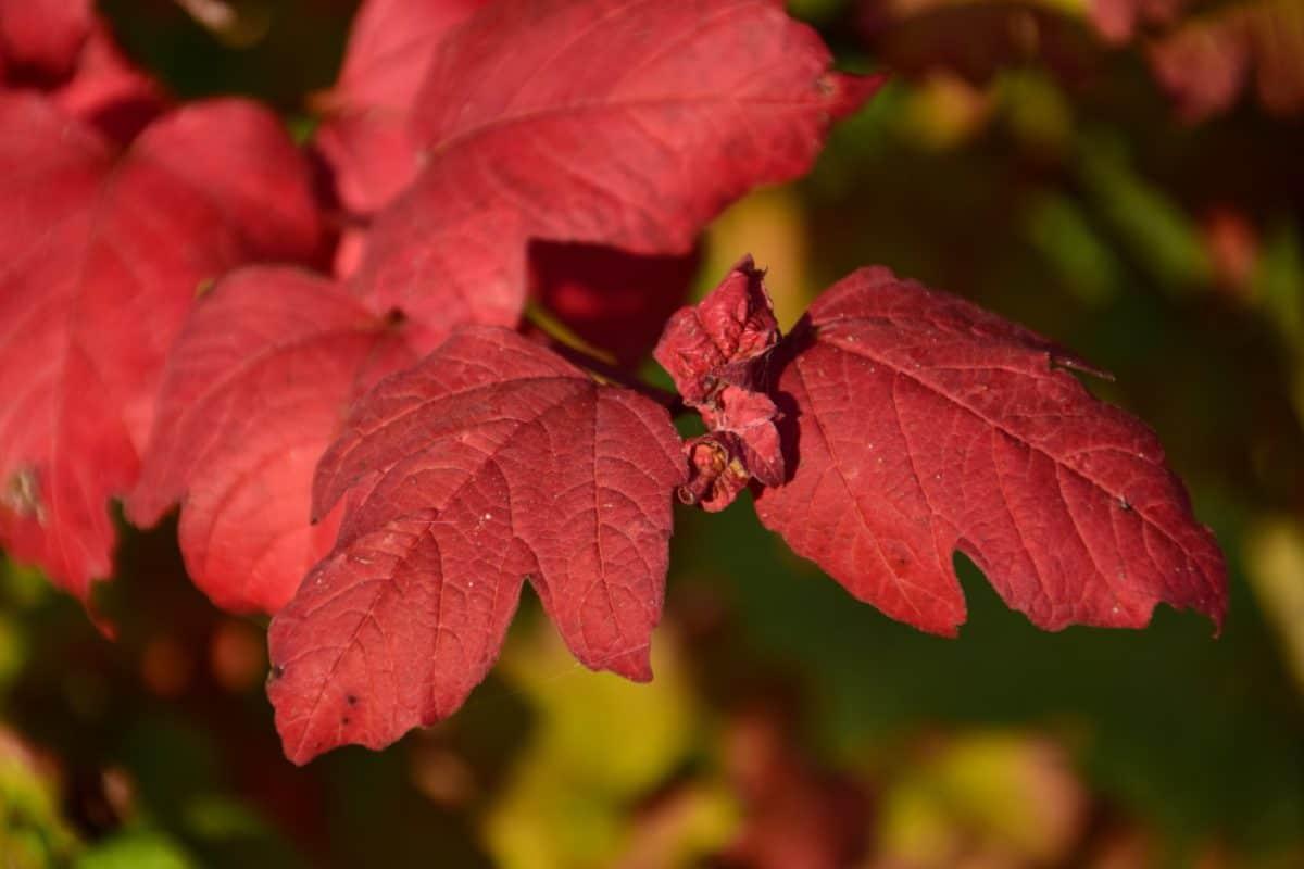 červený list, příroda, flora, rostlin, na podzim, podzim, listí