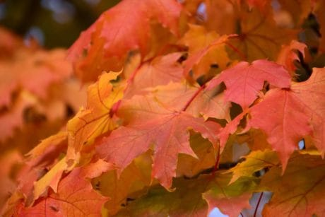 nature, leaf, flora, red, autumn, plant, foliage, forest