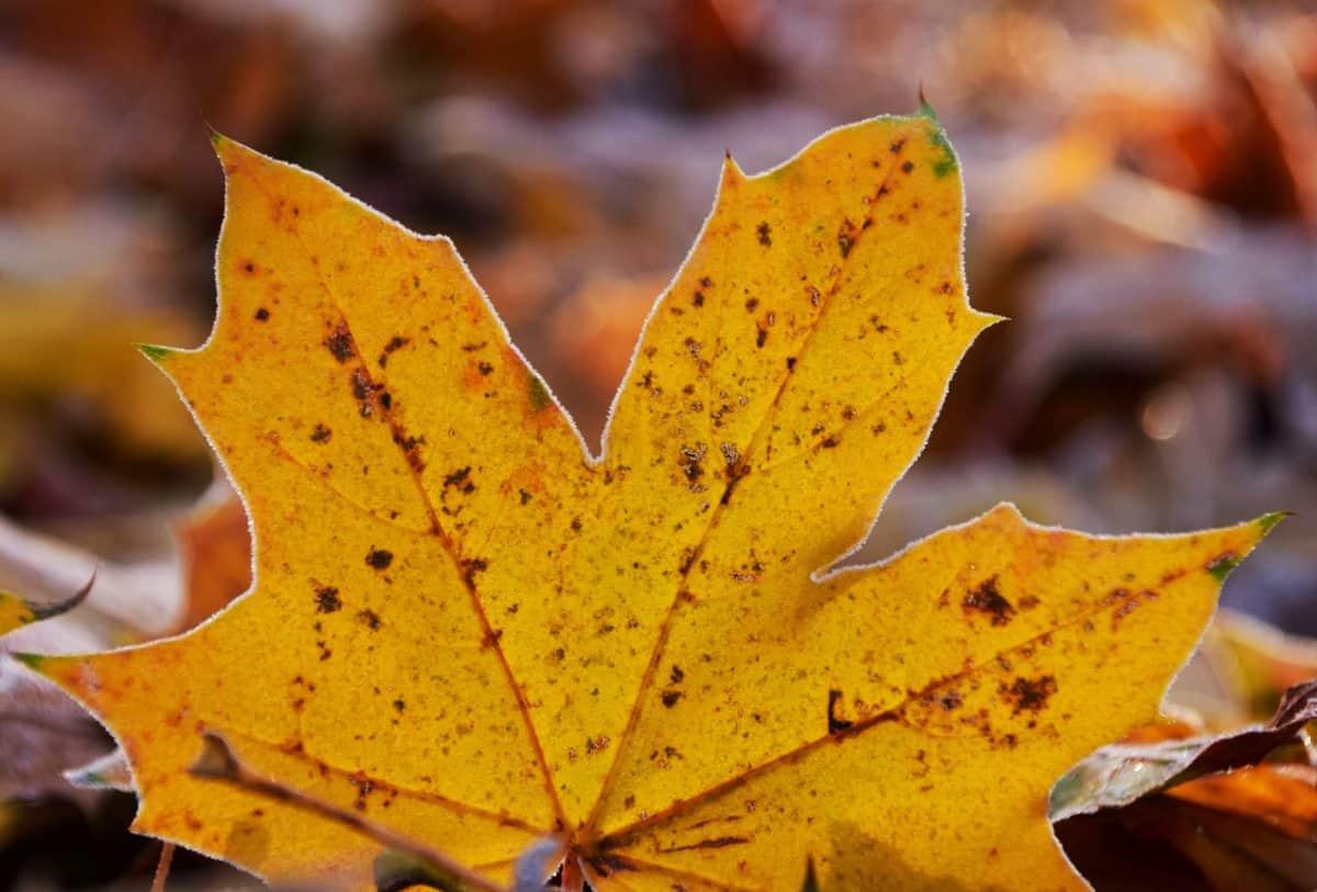 Natur, Blatt, Makro, Tageslicht, gelbes Blatt, Herbst, Laub, Pflanze