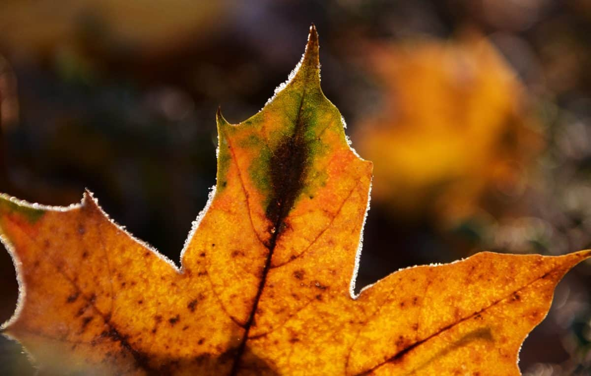 flora, leaf, nature, autumn, macro, brown