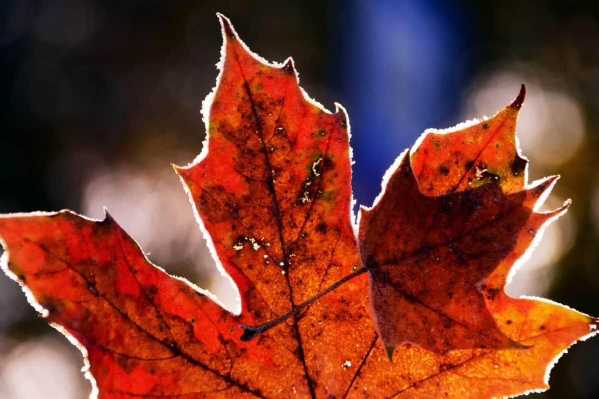 folha, flora, macro, luz do dia, natureza, outono, planta
