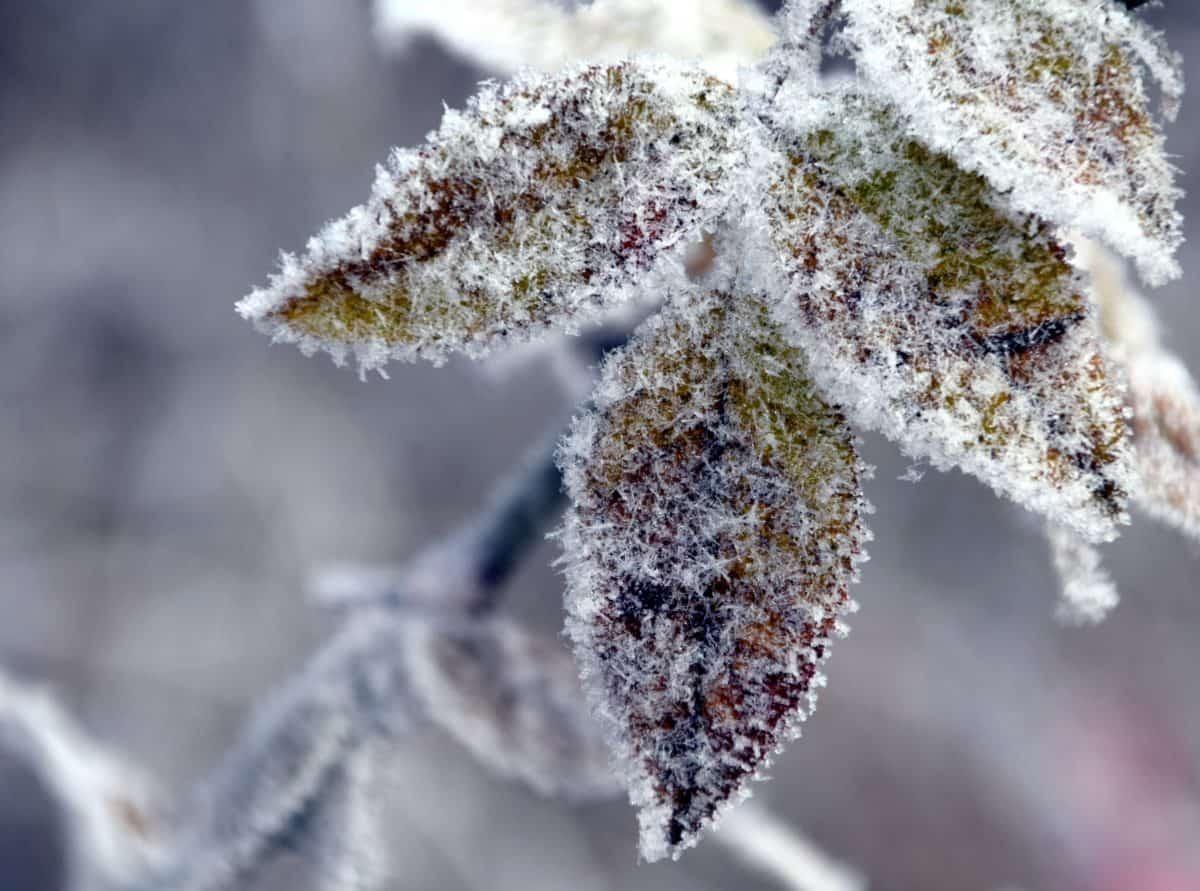 hiver, nature, feuilles, givre, arbre, branche, neige