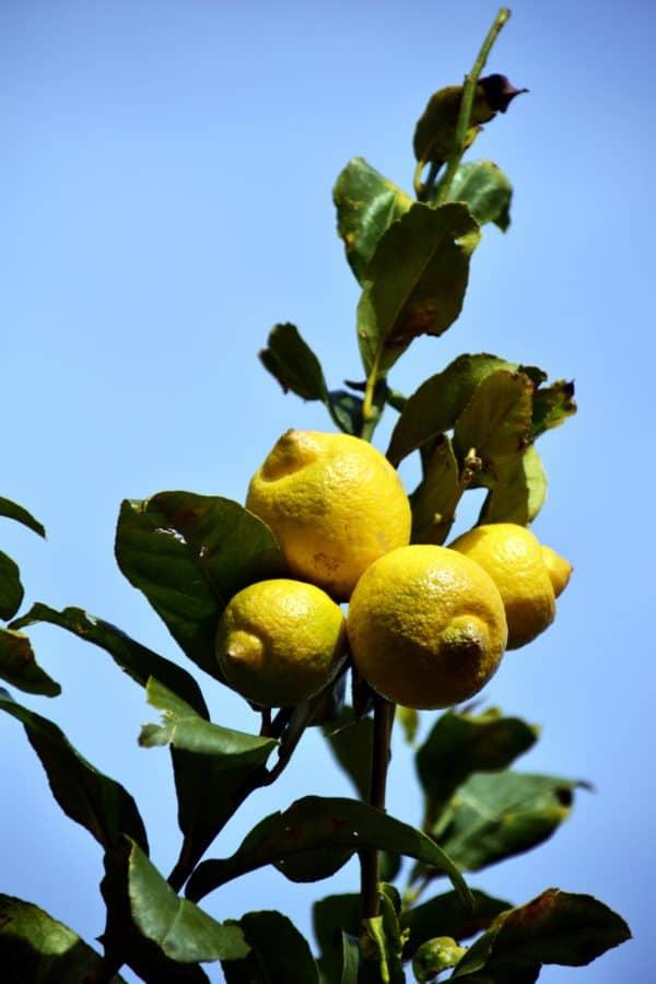 fruits, agrumes, flore, arbre, branche, feuille, nourriture, nature, agriculture, citron
