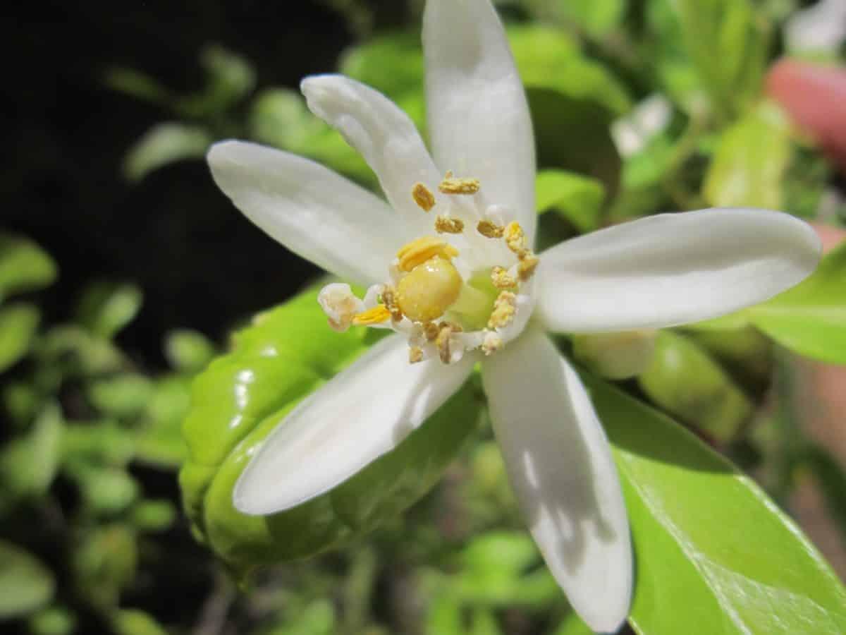pistil, macro, fleur de jardin, blanche, flore, feuille, nature, plante