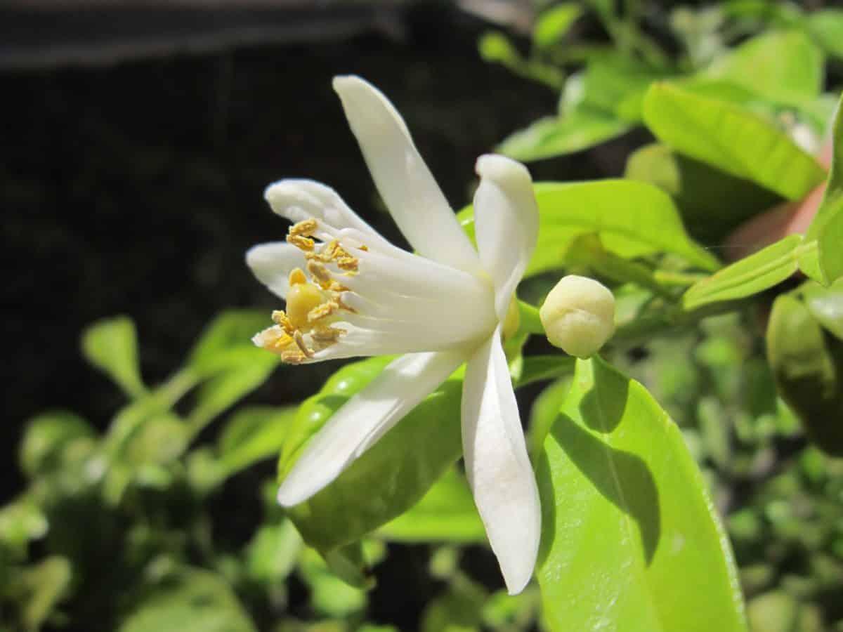 pistil, feuille verte, flore, été, jardin, fleurs sauvages, nature, plante, fleur