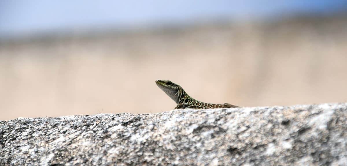 wildlife, reptile, lizard, nature, wild, animal, outdoor