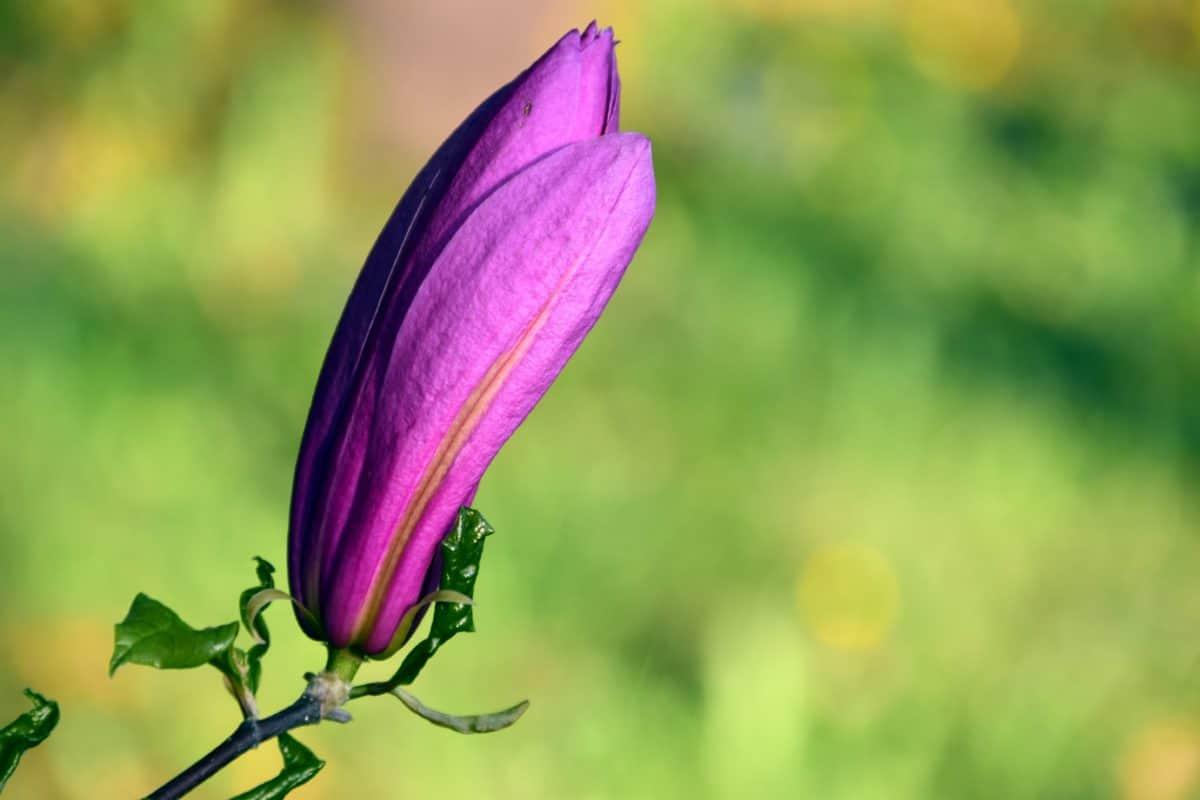 マグノリア、葉、植物、自然、花、庭、夏、植物、花びら