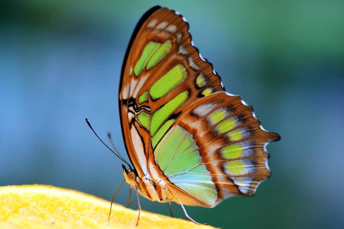 insetto, natura, farfalla, pianta, macro, colorato, particolare