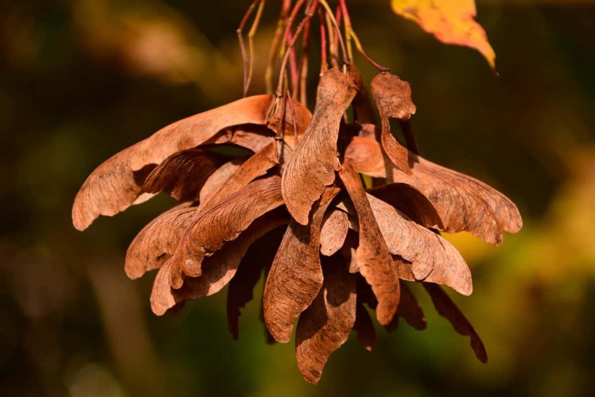 Natur, Tageslicht, braun, Samen, Baum, Pflanzen, Herbst