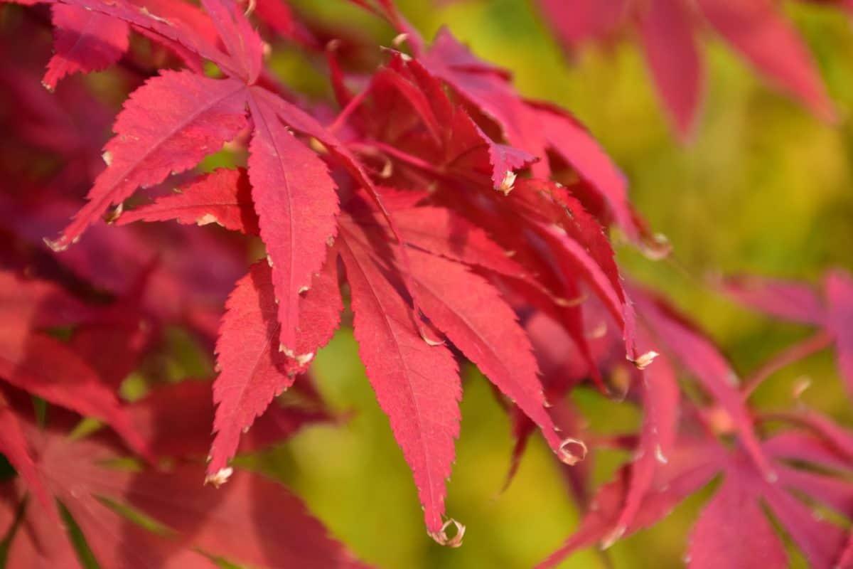 red leaf, nature, flora, autumn, plant, tree, foliage