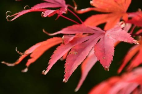 red leaf, nature, flora, herb, plant, macro, autumn, foliage